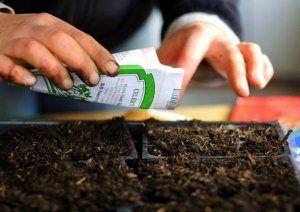 Корисні поради з підготовки насіння баклажан до посіву на розсаду, а також як підготувати тару і грунт? Зразкові терміни посадки