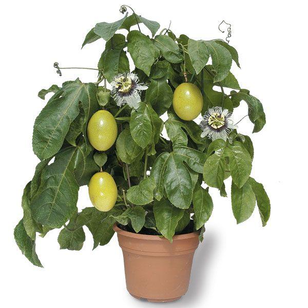 Корисні властивості кімнатної квітки пасифлори. Як вирощувати і поливати?
