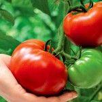 Напівдетермінантні томати - посадка і догляд за рослиною