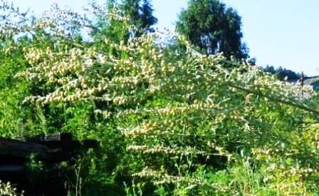Полин - трава пряна, види полину, використання в кулінарії, в народній медицині