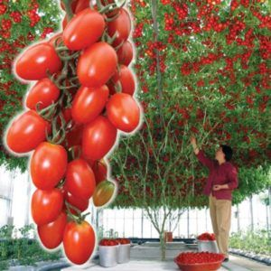 Помідорне дерево «спрут сливка f1»: догляд, особливості томата і фото сорти