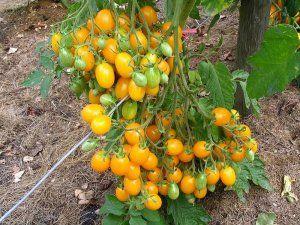Як підготувати теплицю для вирощування сортів черрі