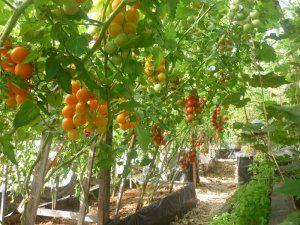 Індетермінантні сорти томата черрі