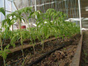 Подкомка розсади помідор в теплиці