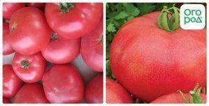 Помідори «лялька маша»: характеристика і опис сорту томату f1