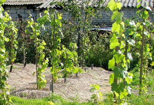 Вкорінені виноградні живці