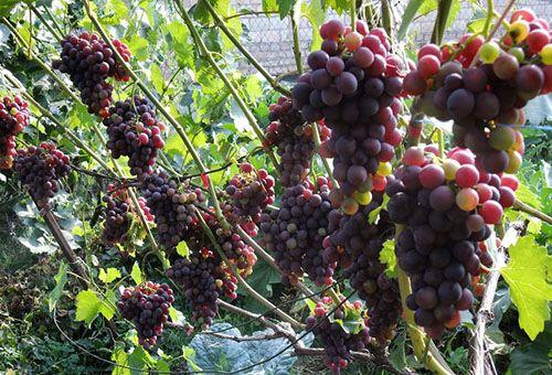 грона винограду