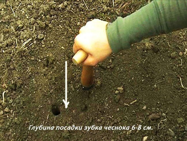 процес посадки часнику під зиму