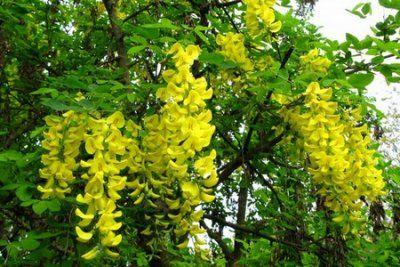 Посадка і догляд за акацією жовтої (караганой деревовидної): опис, розмноження