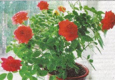 Посадка і догляд за кімнатної трояндою