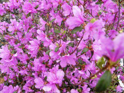 Посадка і догляд за рододендроном даурского, способи розмноження, фото