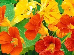 Посадка настурції, вирощування і правильний догляд за нею