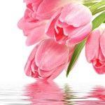 Посадка тюльпанів, догляд і лікування хвороб