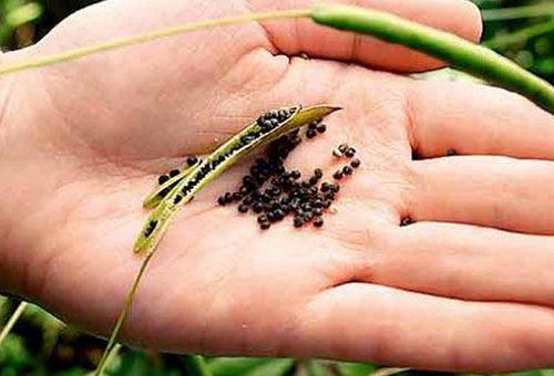 насіння клеоми