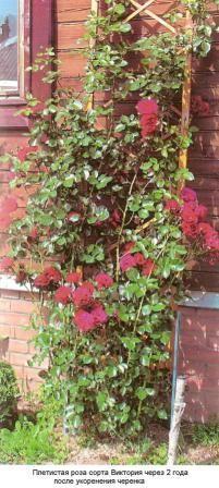 Посадковий матеріал троянд, його якість, способи посадки троянд