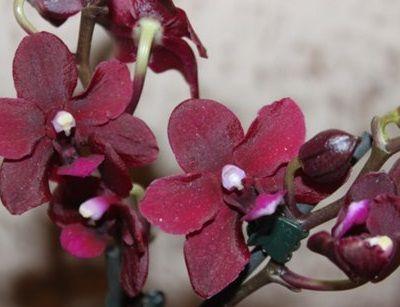Чи правда те, що бувають чорні, сині і фіолетові орхідеї?