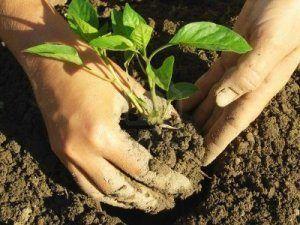 Правила і секрети вирощування перців у відкритому грунті: терміни і схема висадки, догляд в залежності від погоди