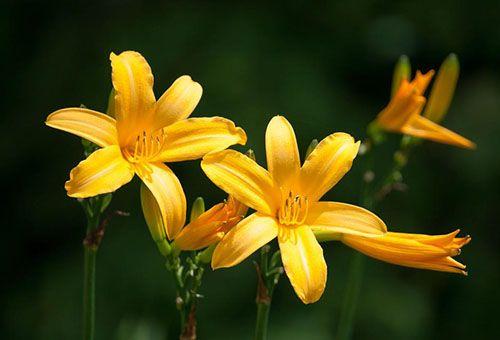 жовтий лилейник