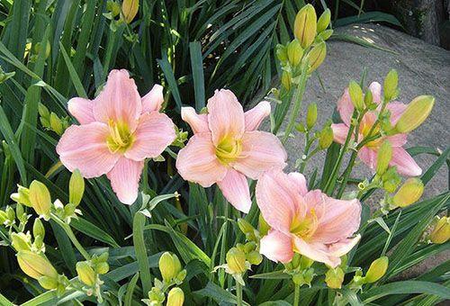 рожеві лілейники
