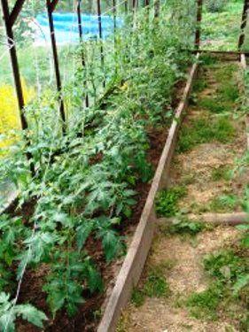Правильне видалення пасинків на томатах