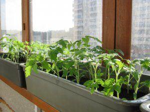 Правильне вирощування перців з насіння в домашніх умовах: як вибрати насіння і виростити розсаду на вікні