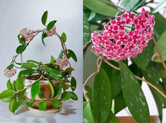 Правильний догляд за рослиною хойя в домашніх умовах, розмноження, шкідники та хвороби