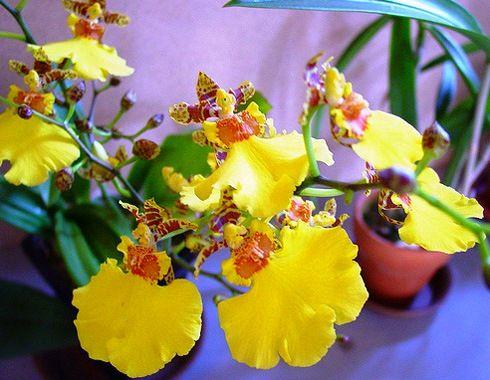Прекрасна орхідея онцідіум: догляд і розмноження в домашніх умовах