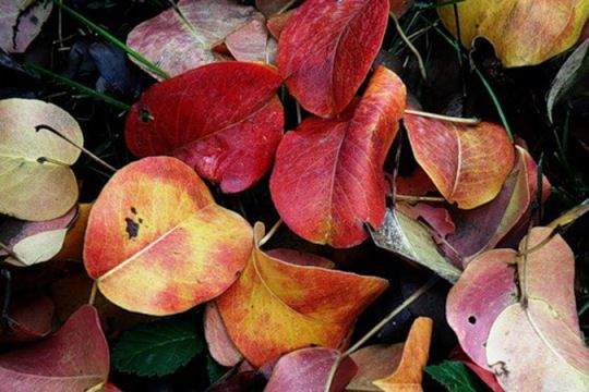 Причини зміни кольору у листя груші