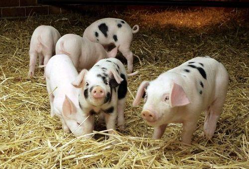 свині в свинарнику