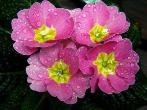 Примула садова - один з прекрасних багаторічників