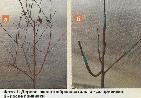 Щеплення і перещеплення плодових культур, створення дерева-саду