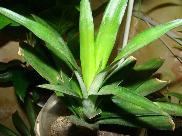 Про ананас, як посадити будинку?