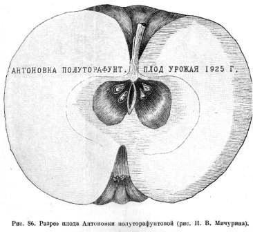 Процес виведення і помологічна опис мічурінських сортів: яблуні