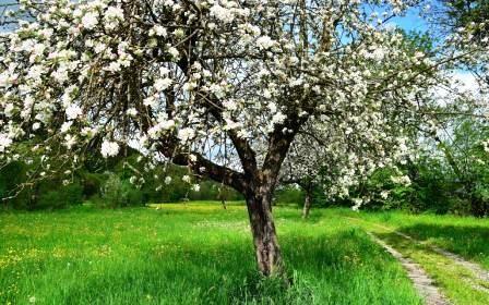 Тривалість життя дерев - таблиця