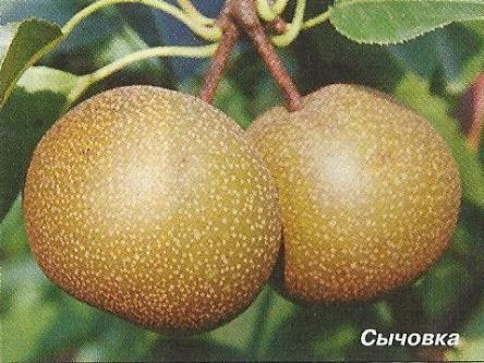 Походження і сорти азіатських груш