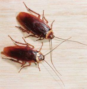 Прізвиська вусатих: від «стасика» до «фелікса»! Таргани прусаки - історія навали російських жуків