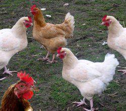 Пташиний послід - цінне органічне добриво, способи використання пташиного посліду