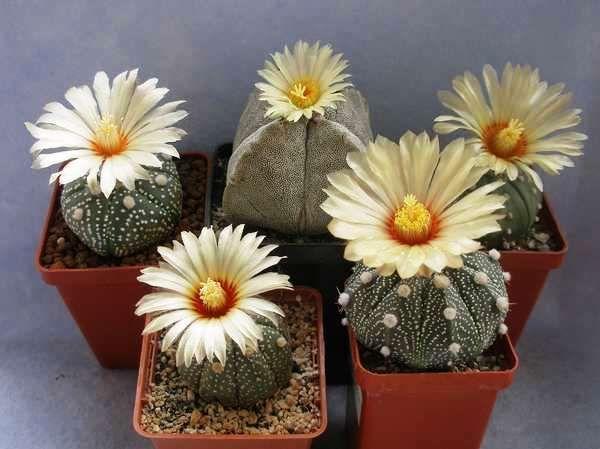 Пустельні кактуси астрофітум: огляд основних видів, поради по догляду