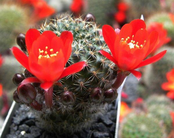 Пустельний кактус айлостера (aylostera): квітуче диво на вашому підвіконні