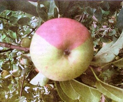 Шляхи акліматизації та селекція: дискусія серед садівників