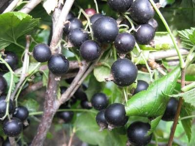 Шляхи отримання великих плодів і ягід на дачній ділянці