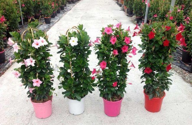 Пишноцветущая тропиканка - діпладенія: догляд в домашніх умовах, вирощування і розмноження, фото