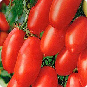 Середньоранній сорт томату «чайка»: опис, посадка і догляд