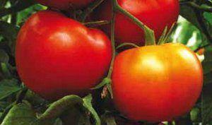 Ранньостиглий і транспортабельний томат «преміум f1»: опис сорту помідор