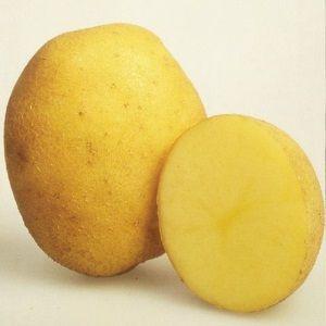 Характеристики картоплі сорту Латона