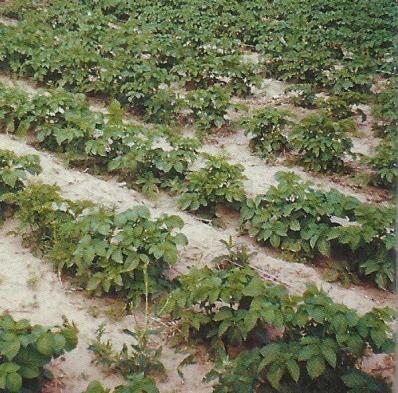 Рання картопля, сорти, опис, фото, агротехніка