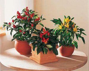 Розглянемо перець гострий: вирощування з насіння, коли садити в домашніх умовах, догляд за розсадою