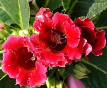 Розмноження і вирощування глоксинії в домашніх умовах