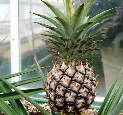 Розмноження кімнатних рослин: ананас вдома