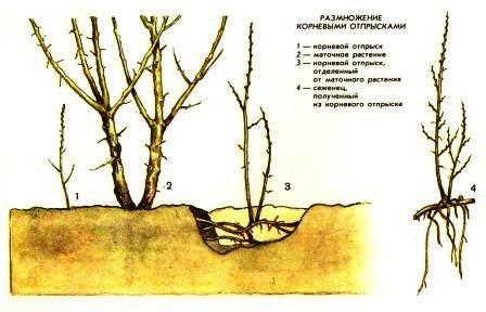 Розмноження рослин зливу